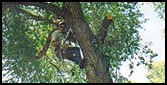 Man in Tree - Tree Removal